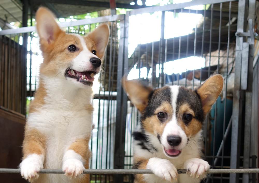 木本訓練学校(JKC・JSV公認犬の学校)